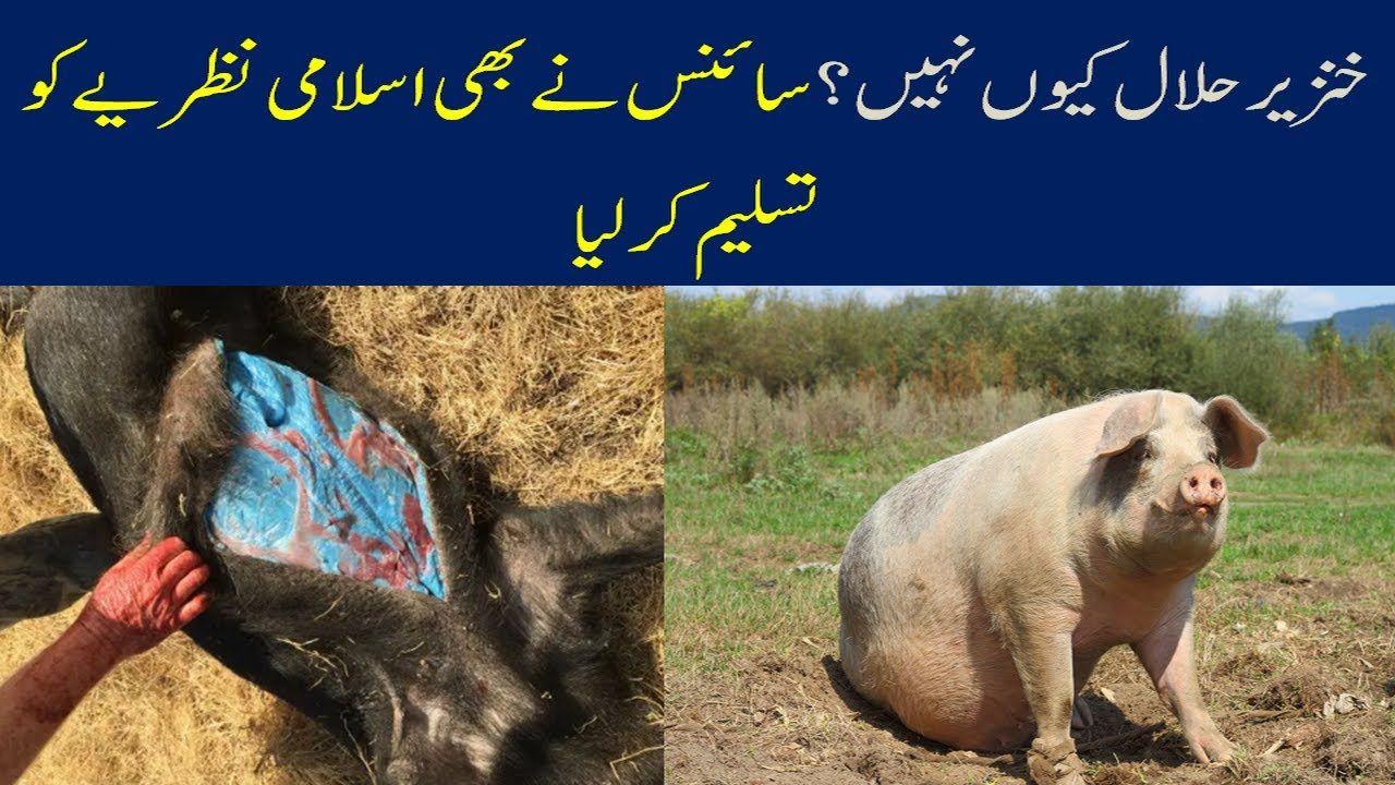 Why are pigs not halal? Hanzeer ka gosht islam me kayoon