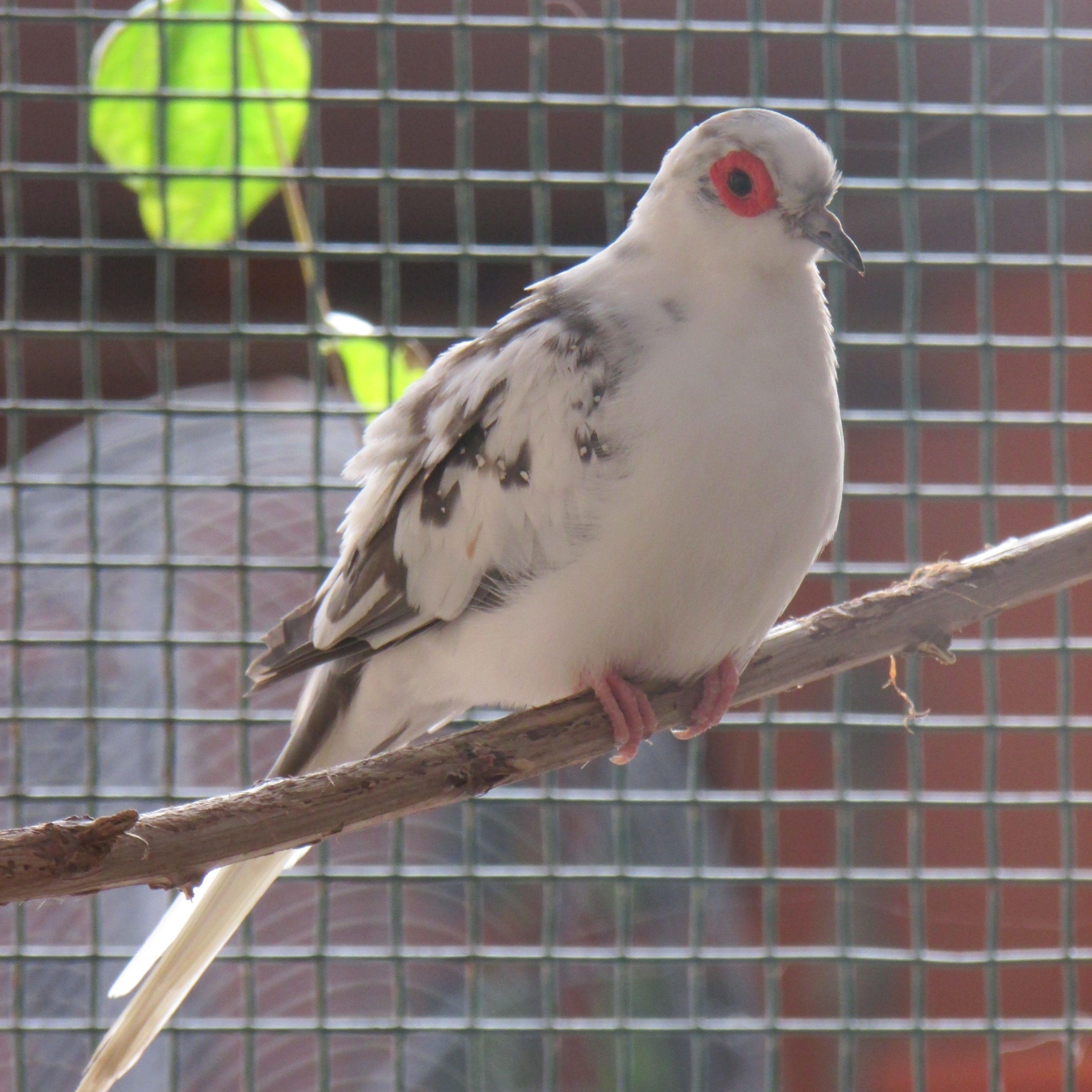 Chicharo Blue Pied Male Diamond Dove Doves So Peaceful