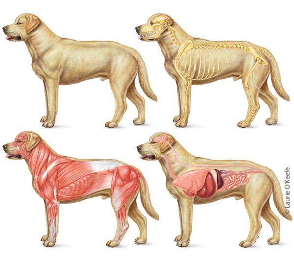 Dog Skeletal Muscular And Internal Organ Anatomy Illustration By