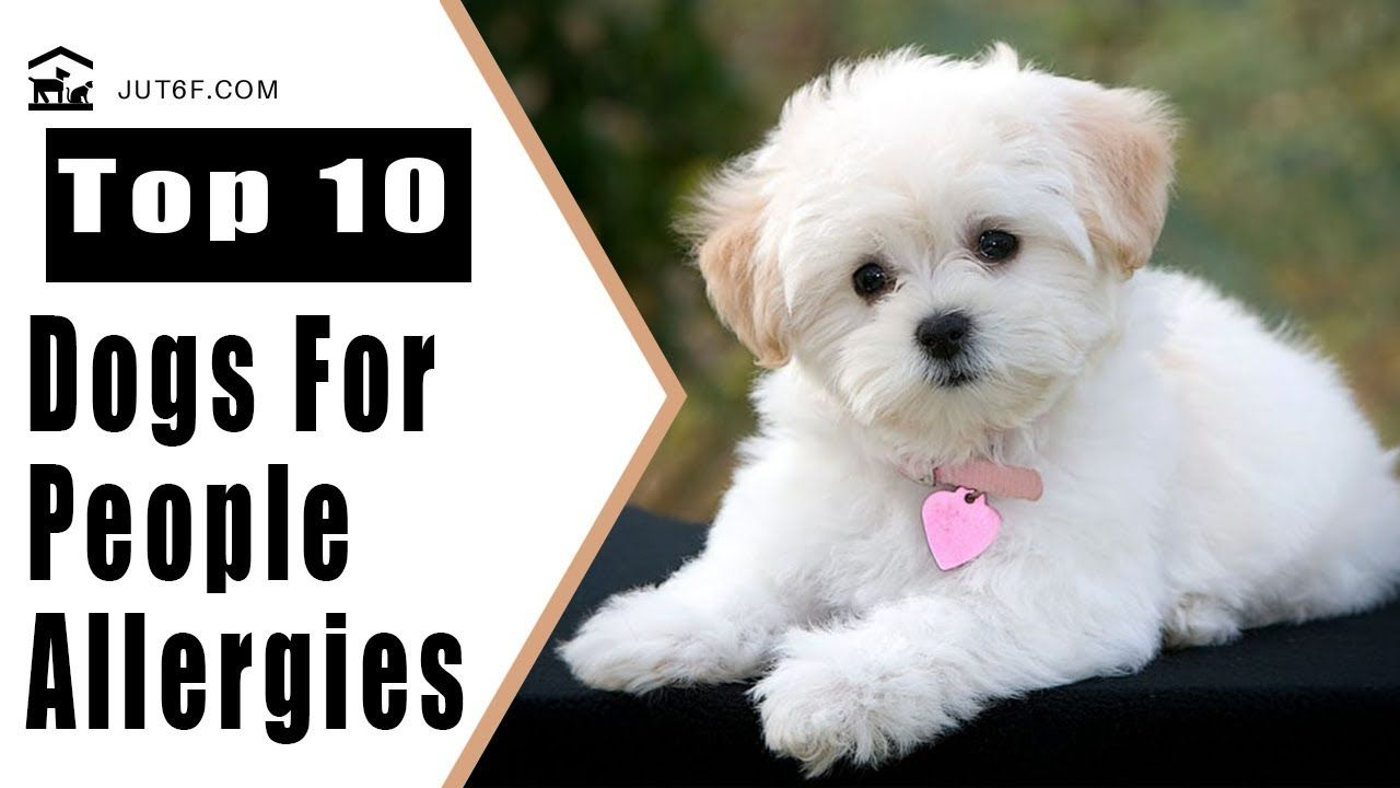 Top 10 Dogs That Don T Shed Too Much For People With Allergies
