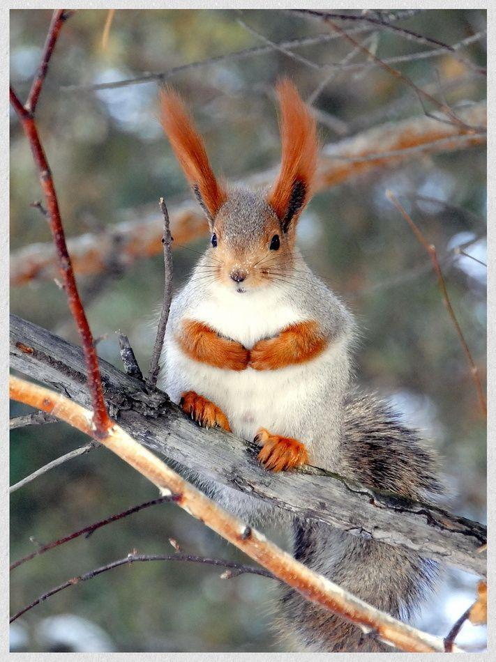 Abert's squirrel (or tassel-eared squirrel)- Dusky's ...