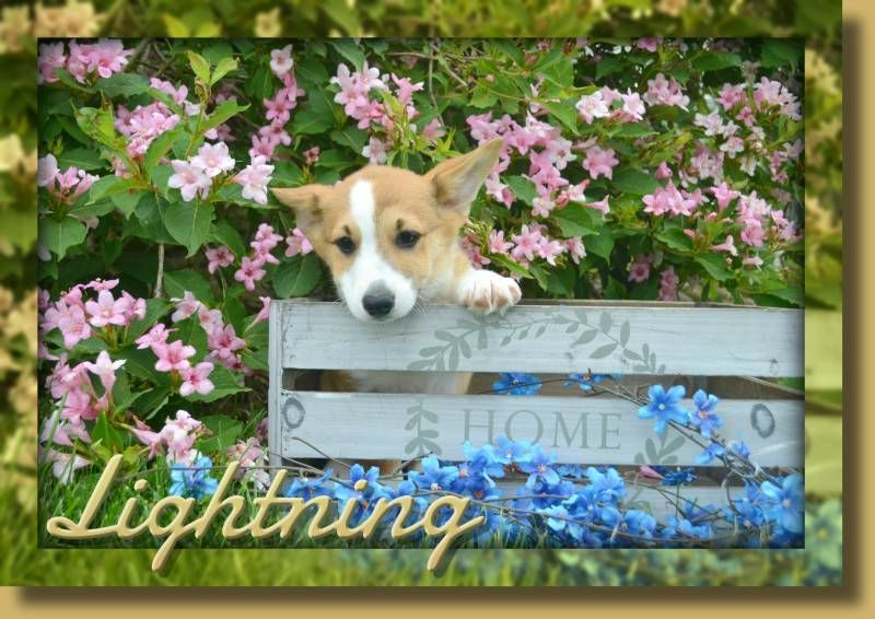 Lightning Male Aca Pembroke Welsh Corgi 1500 That Doggy In The Window Corgi Pembroke Welsh Corgi Pembroke Welsh Corgi Puppies