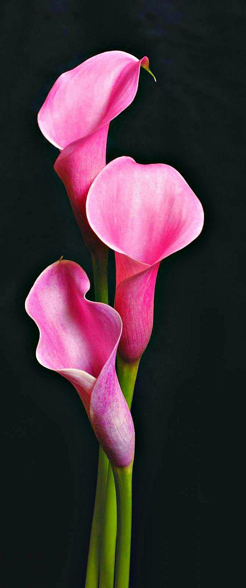 Pin By Irma Irala On Fiori Lily Flower Flower Art Calla Lily