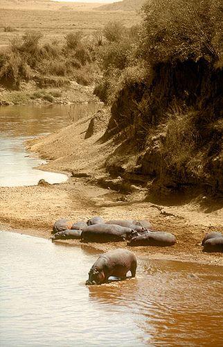 Hipopótamos en el Río Mara - Hippopotamus in the Mara River (August 2005)…