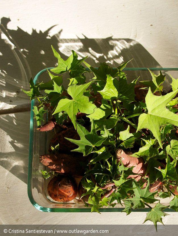 Cómo cultivar tu propia batata