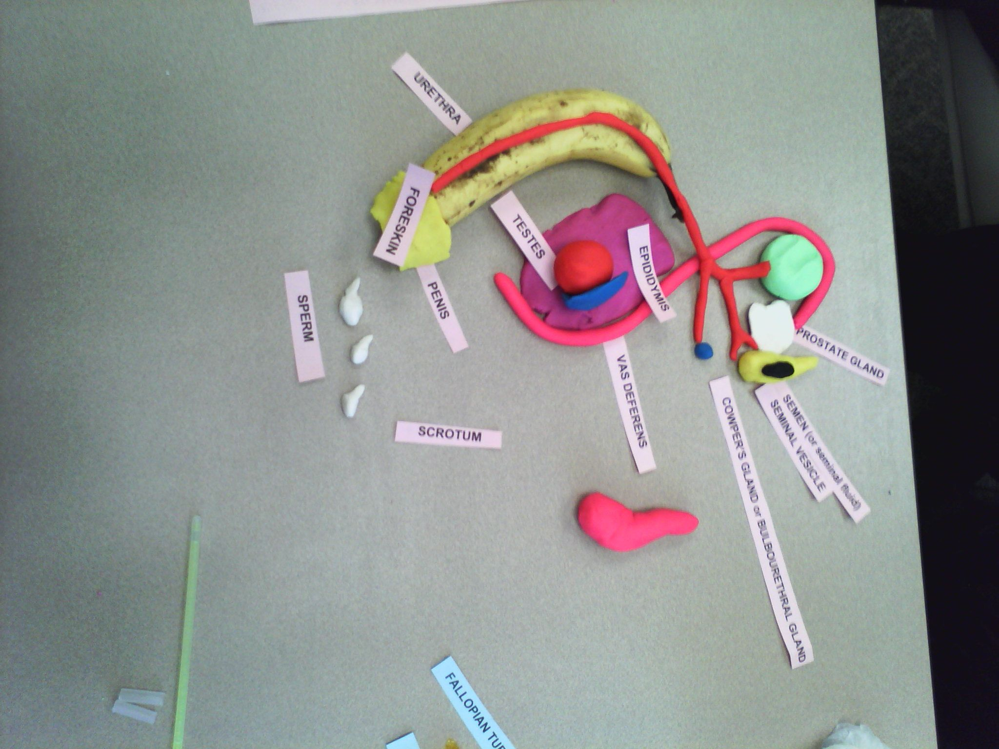 Male reproductive system constructed with items from home