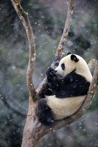 Panda The Panda Ailuropoda Melanoleuca Also Known As The Giant Panda To Distinguish The Unrelated Red Panda Is A B With Images Animals Panda In Snow Animals Beautiful
