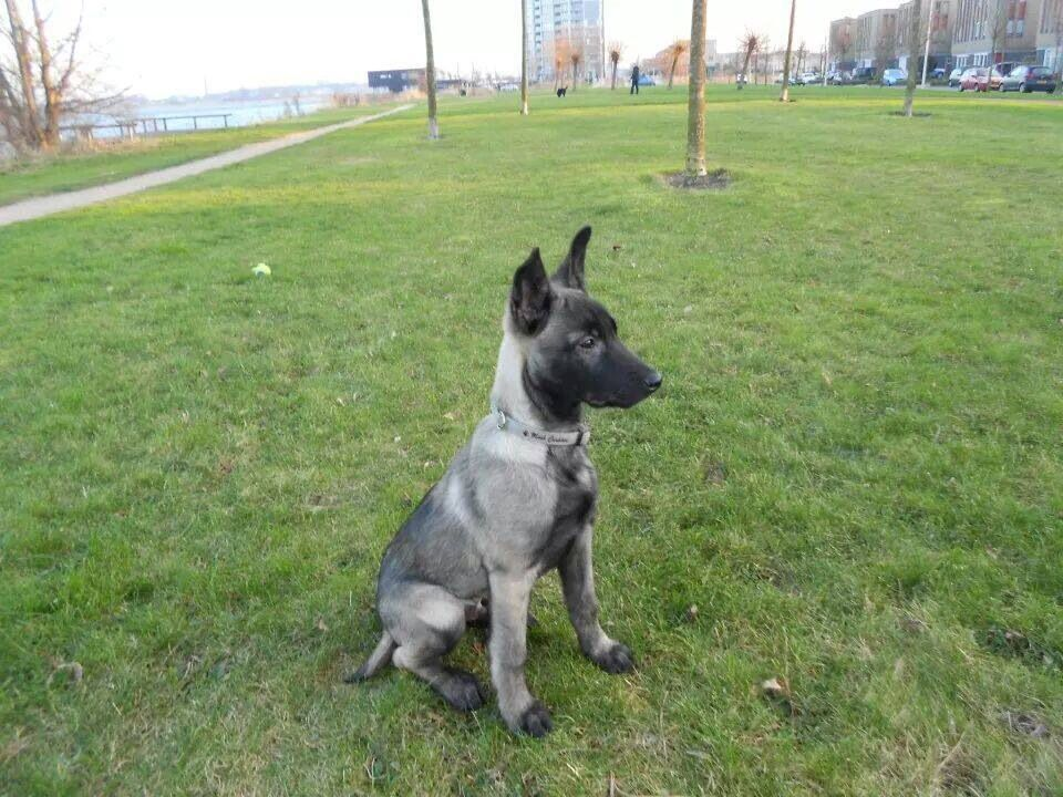 Beautiful Silver Gray And White 4month Old Mali Belgian Malinois Dog Belgian Malinois Malinois Dog