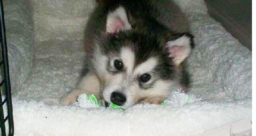 5 Surprising Gifts Alaskan Malamutes Have Given The World