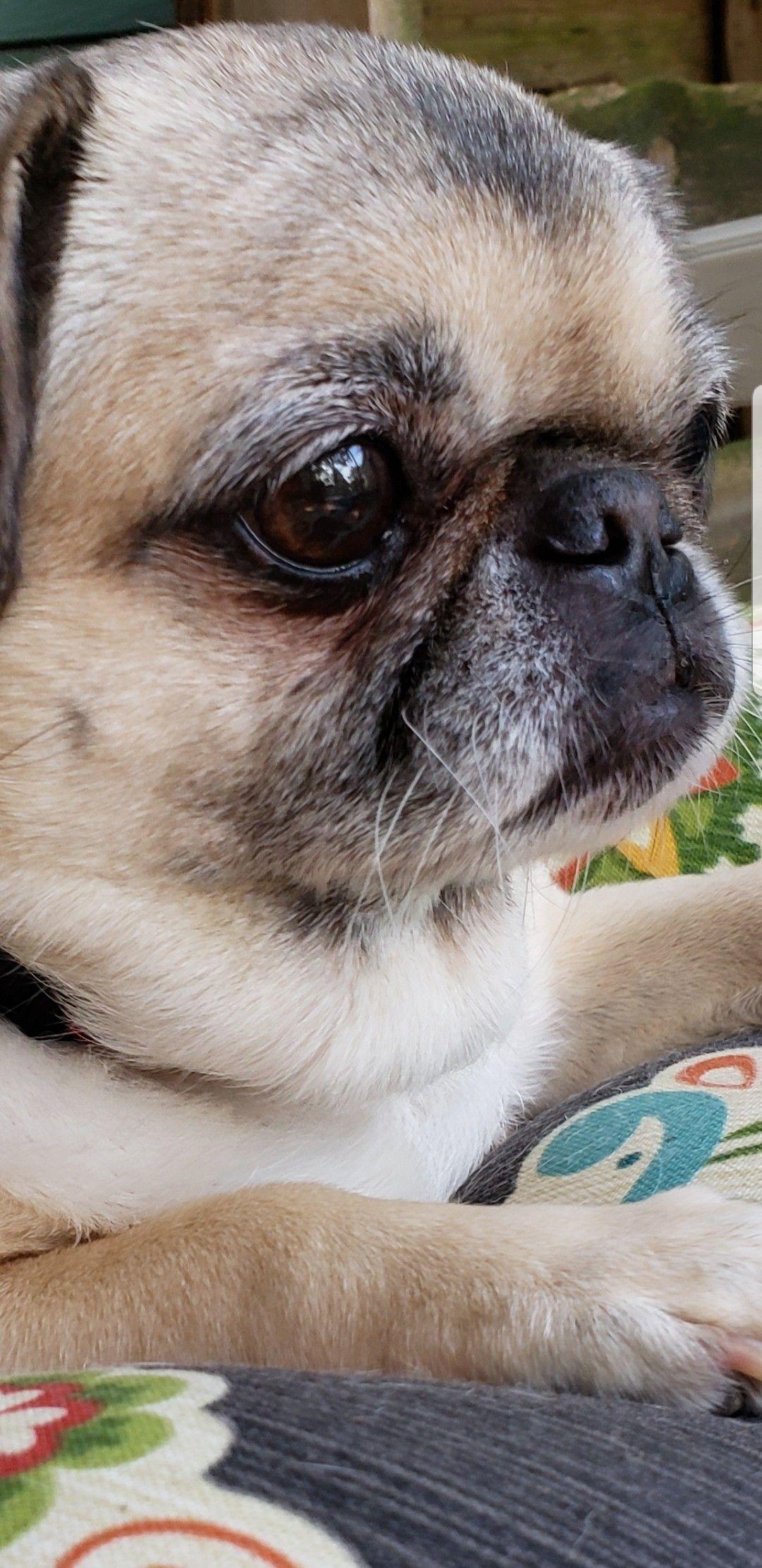Sweet Pug Cookie Cute Pug Puppies Pug Puppies Puppies