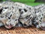 Snow leopard barely open their eyes at the zoo in Leipzig, eastern Germany on July 20, 2012.  PHOTO: AFP