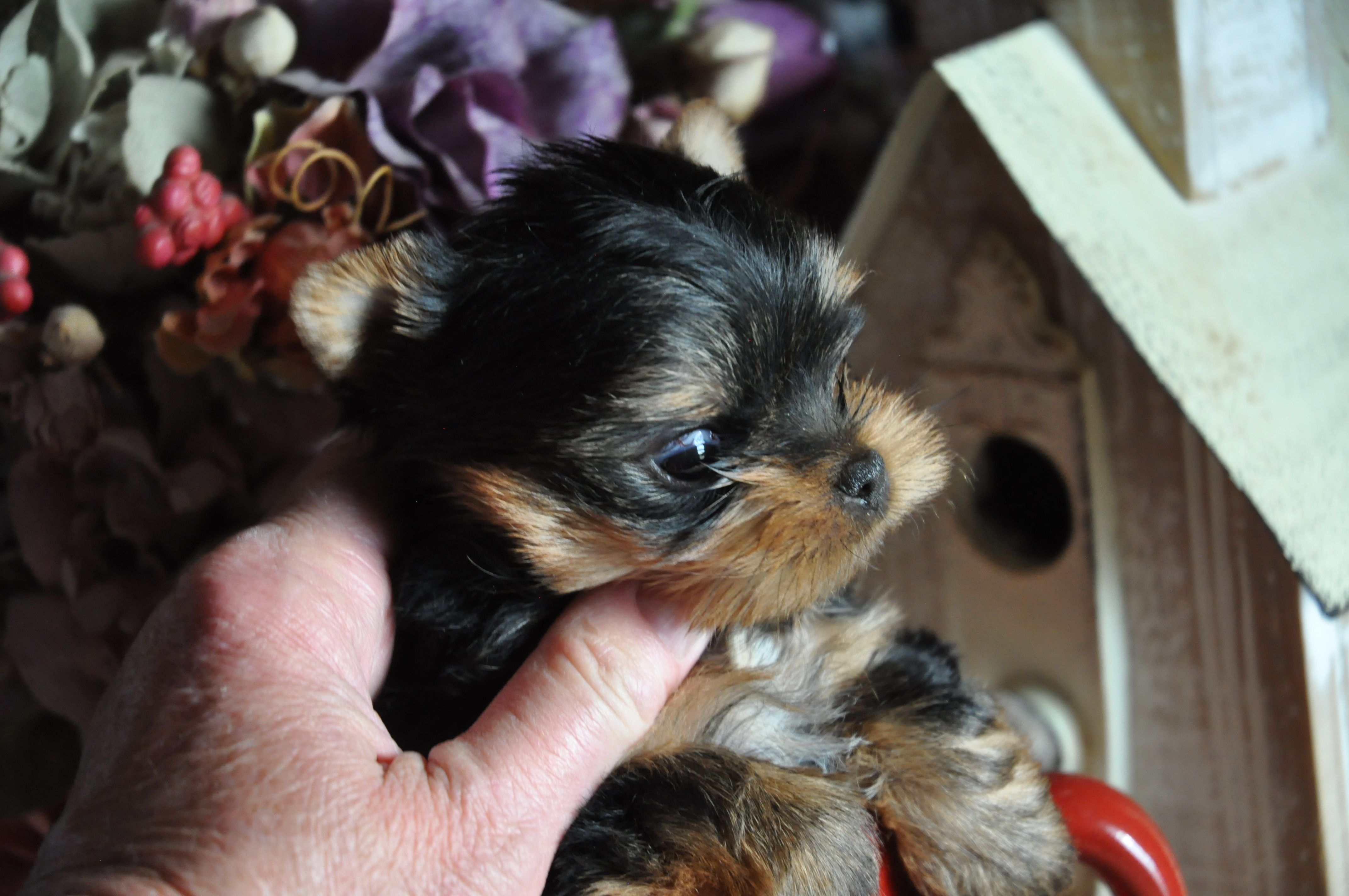 Tiny Gorkie Girl With Images Teacup Yorkie Puppy Yorkie Puppy