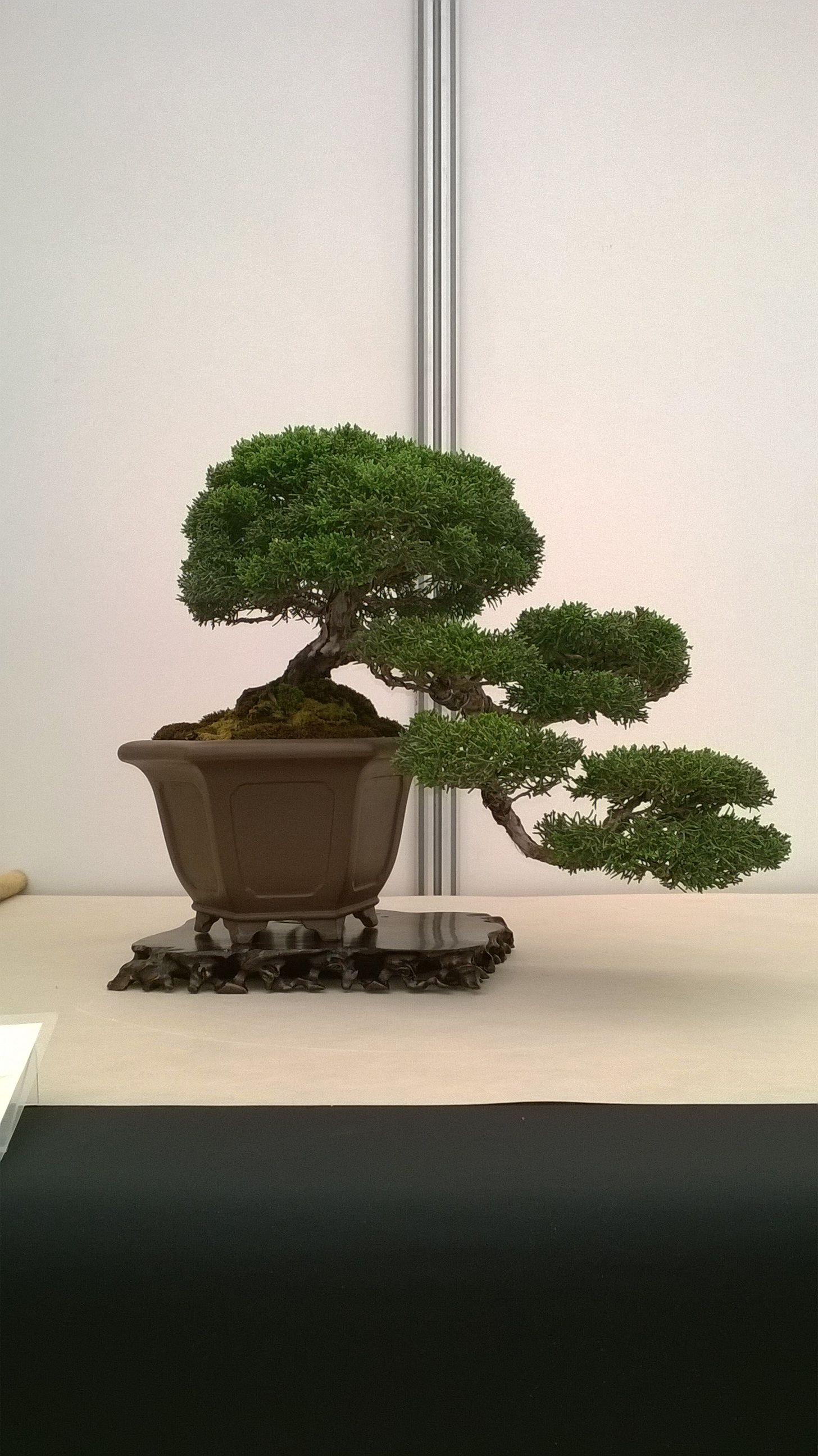 Juniperus chinesis