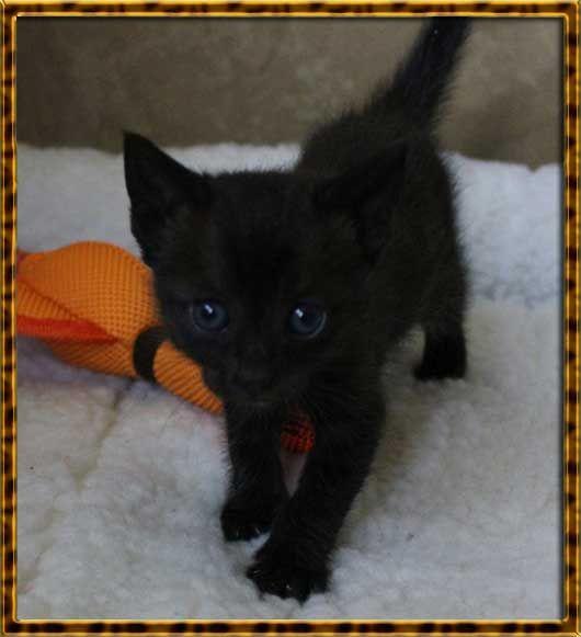 Agato Savannahs Siri - Melanistic Savannah Cat - Savannah Cat Siri ...
