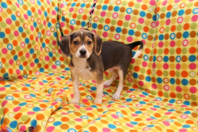Meet Zeus A Petfinder Adoptable Beagle Dog Louisville Ky