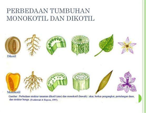 Ciri Ciri Tumbuhan Dikotil Dan Monokotil Contoh Tumbuhan Monokotil Dan Dikotil Contoh Tumbuhan Dikotil Dan Monokotil Beserta Ciri Ciri Dengan Gambar Bunga Pendidikan Tanaman