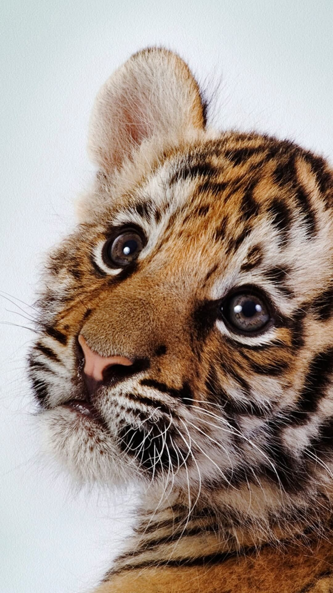 Baby Animal Iphone Wallpaper In 2020 Tiger Wallpaper Tiger Wallpaper Iphone Hd Wallpaper Android