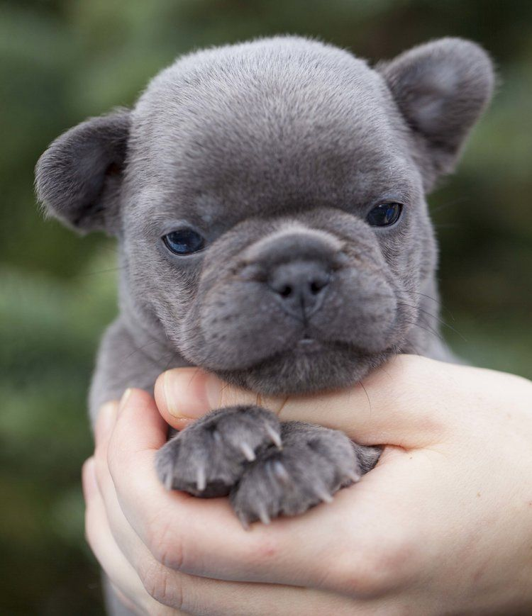 French Bulldog Puppies For Sale In Washington State Contract Page Northwest Frenchies In 2020 French Bulldog Puppies Bulldog Puppies For Sale Bulldog Puppies