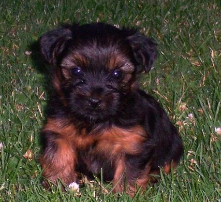 Pug And Yorkshire Terrier Pugshire Yorkie Terrier Pug Mixed