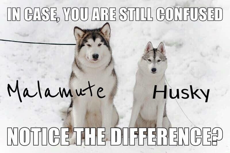 Both Are Beautiful Shih Tzu S Corgis Huskies Oh My Furry