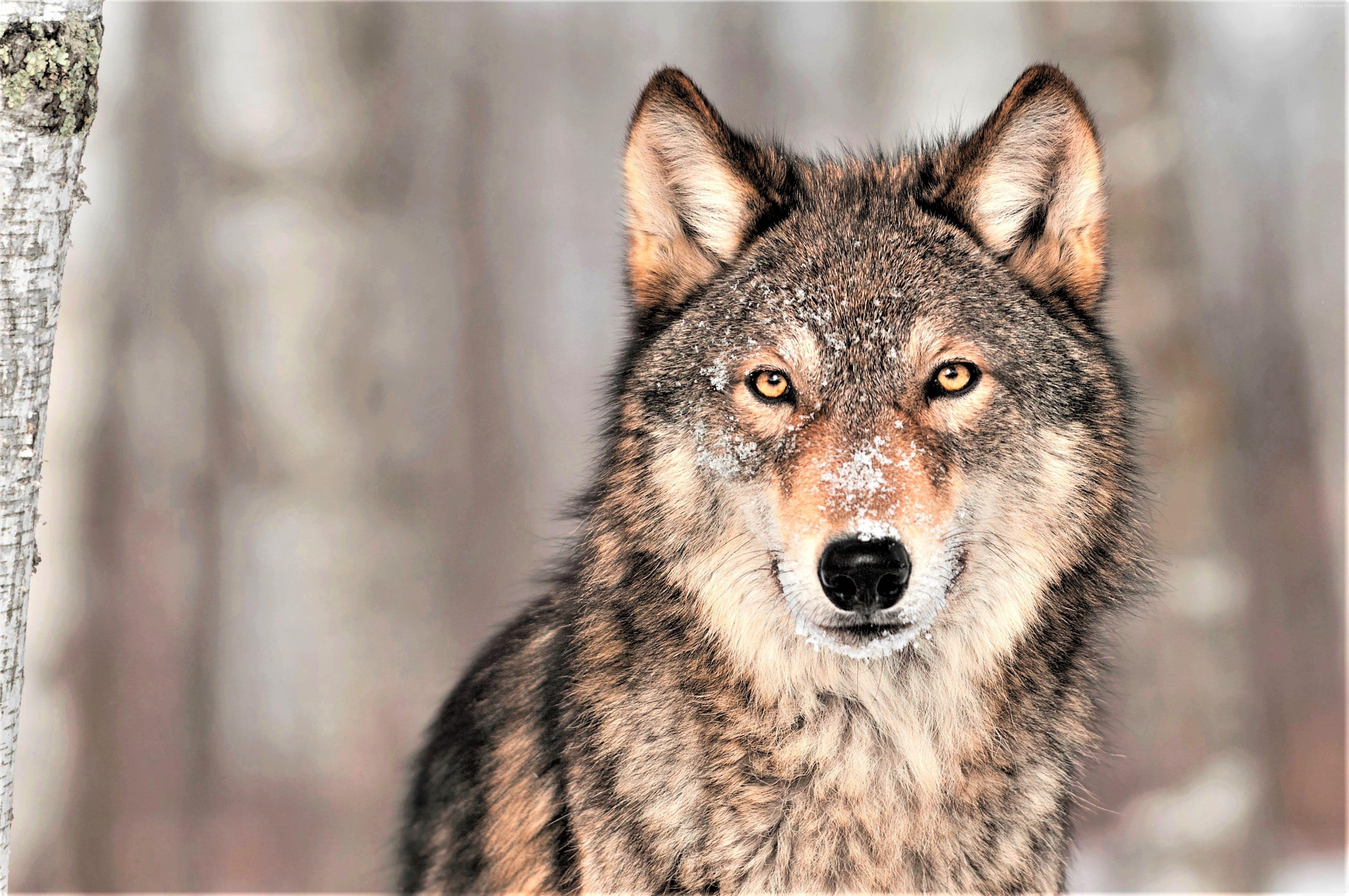 Wolf 4k Grey 4k Wallpaper Hdwallpaper Trend Animals Wolf Life Grey Wolf