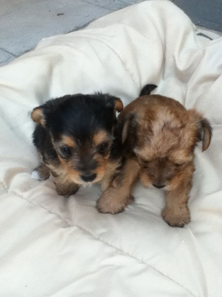 For Sale Morkie Pups 1 Month And A Week 150 Two Girls One Boy In