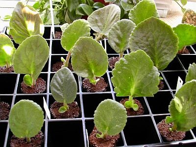 propagating african violets