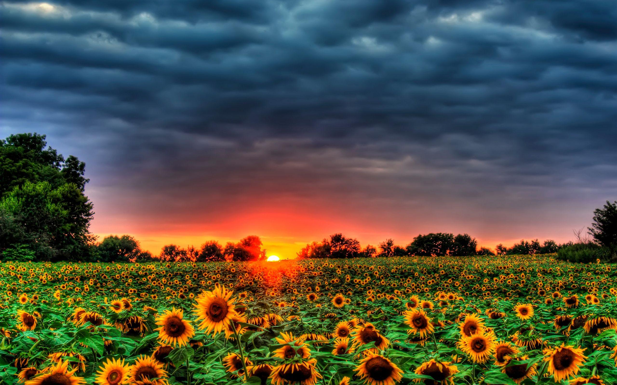 Field Of Sunflowers Beautiful Beauty Clouds Free Wallpapers Sunflower Photo Field Wallpaper Sunflower Wallpaper