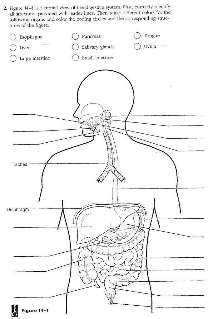 Digestive System Worksheet Answer Key Blank Digestive ...