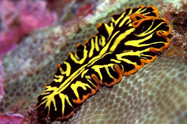 """Nature Is Weird on Twitter: """"The amazing tiger flatworm!  (Photo: DiverDave) https://t.co/K7KdiZJXwN"""""""