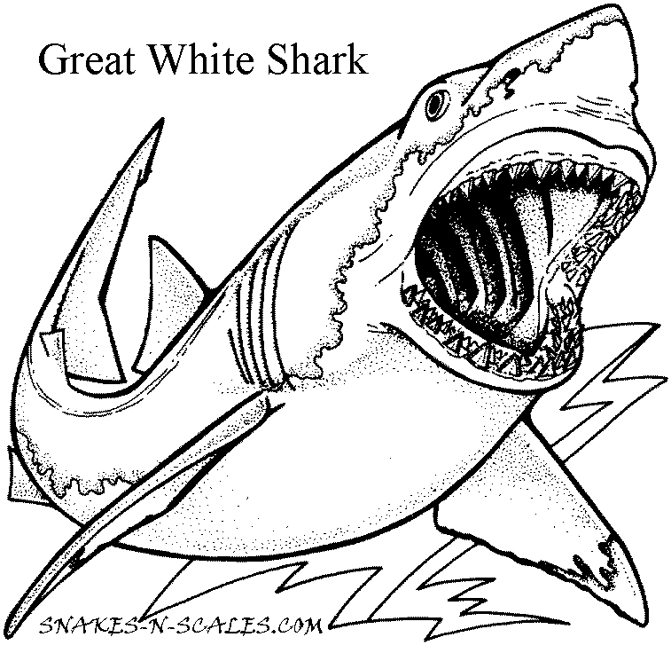 Great White Shark Coloring Page Snakes N Scales Shark Coloring Pages Animal Coloring Pages Free Coloring Pages