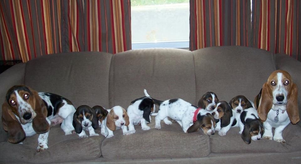Family Picture Mom Dad A Dream Basset Hound Basset