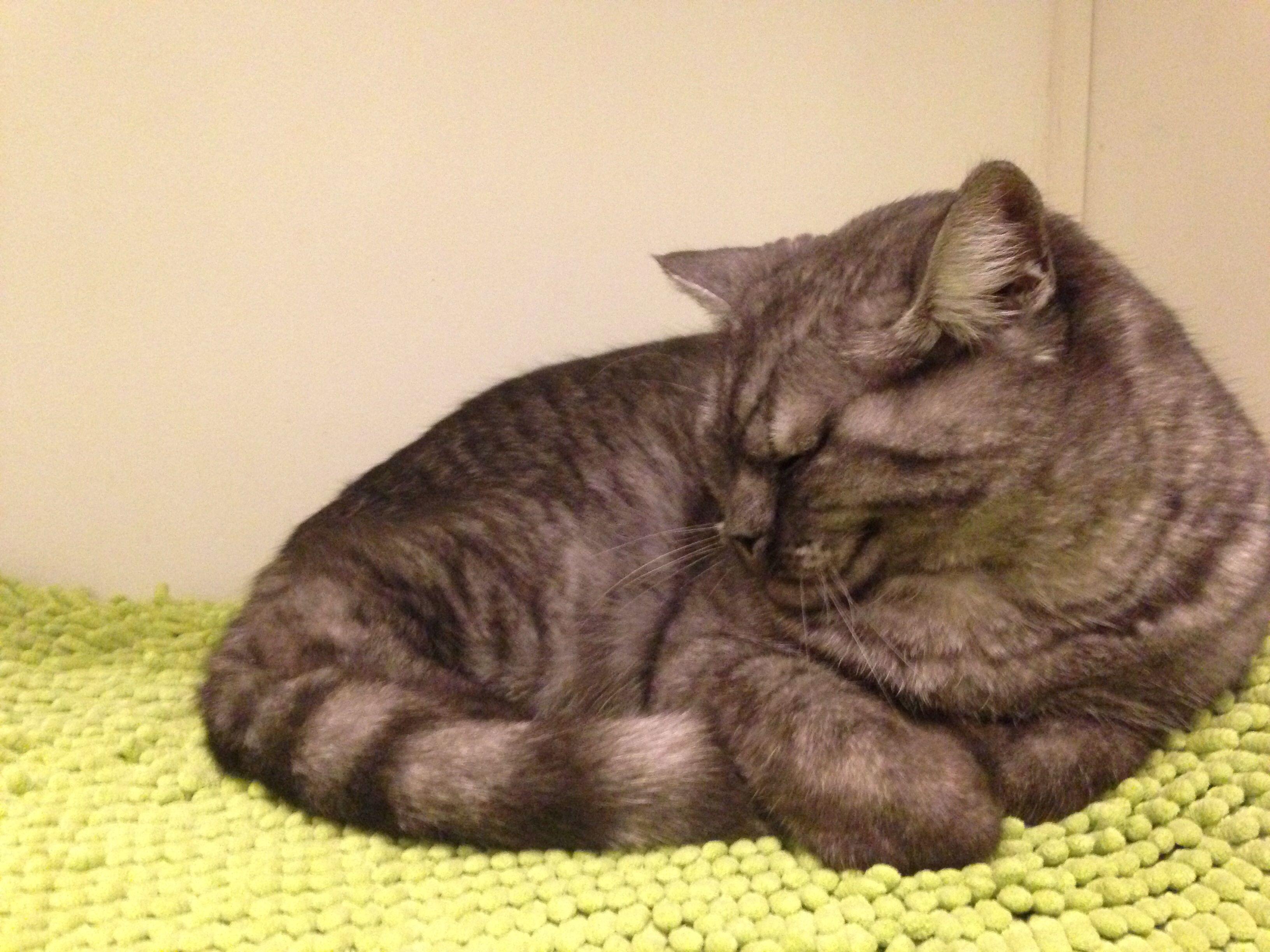 Helmut Is A British Shorthair Cat Black Silver Mackerel Tabby British Shorthair Cats Tabby Cat British Shorthair Kittens