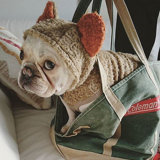 Now That S Just The Cutest Little Outfit I Ve Ever Seen Franzosische Bulldogge Frenchie Welpen Englische Bulldogge