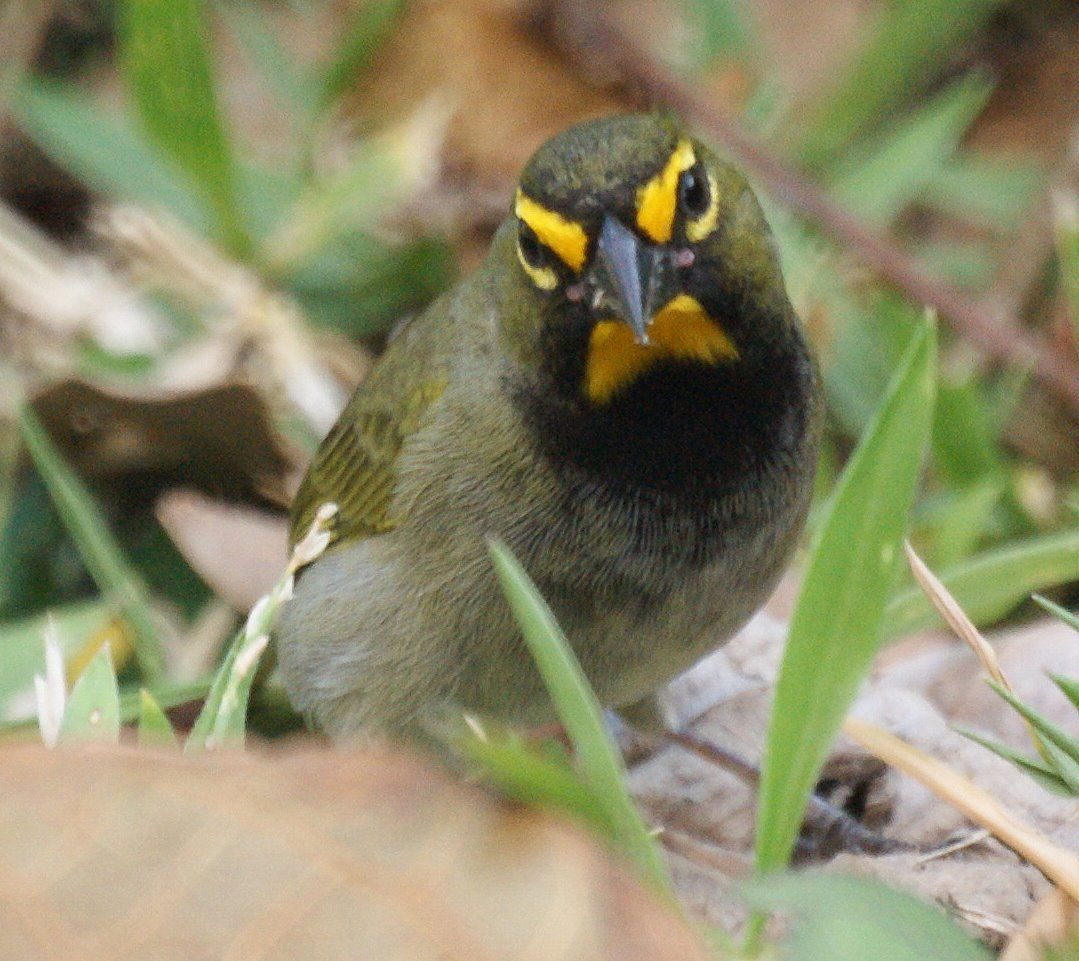 yellow faced grassquit