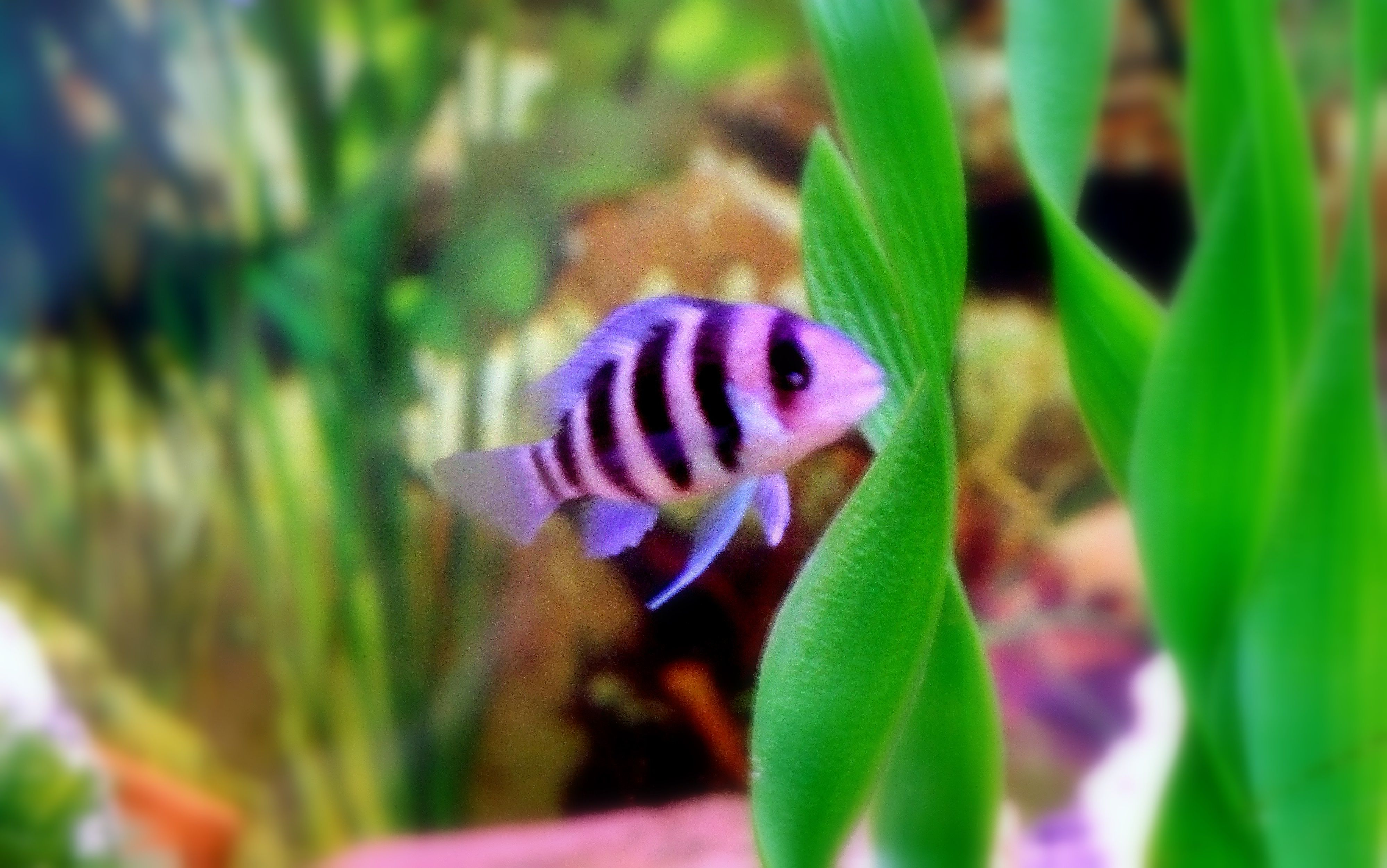 Good Pic Of A Baby Frontosa Fish Tank Fish Pet Cichlids