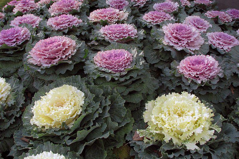 Les Choux Version Deco Avec Images Jardin D Automne Plante