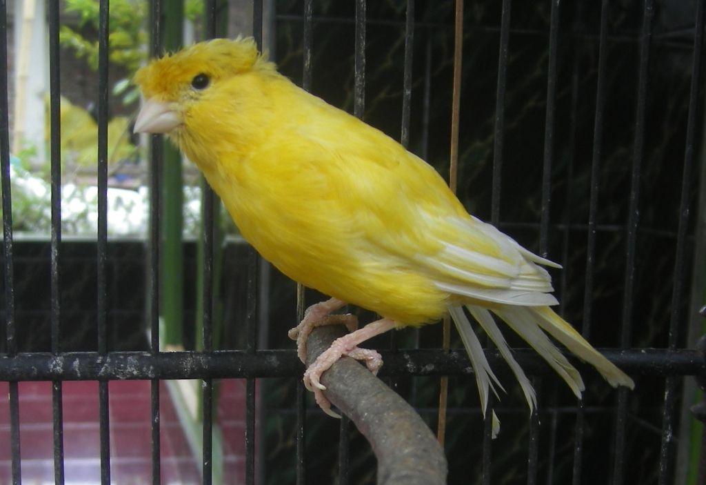 Harga Dan Suara Burung Burung Kenari