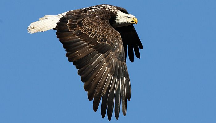Bald Eagles, Bald Eagle Pictures, Facts, and Information