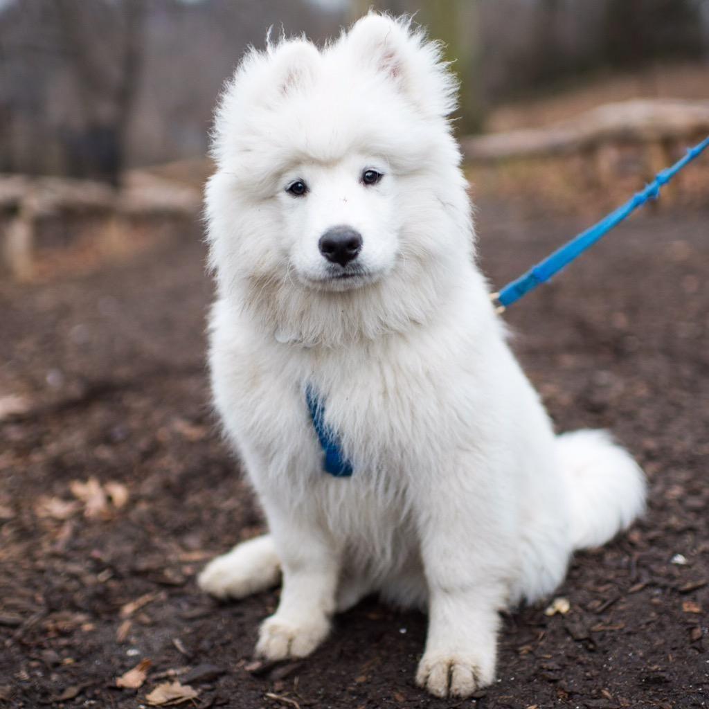 The Dogist On Samoyed Dogs Dogs Samoyed
