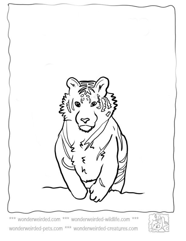 Tiger Coloring Pages at www.wonderweirded-wildlife.com/ tiger ...