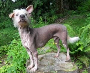 Seattle, WA - Spanky is in search of a home to call his own. Please help him by sharing this post. Spanky is a 9-yo, 36-pound Standard Xoloitzcuintli (possibly mixed). His spots & one dropped ear make him completely adorable. Neutered • UTD with shots • House trained • Prefers a home without dogs.   He is agile, he loves to run and jump & knows an adorable trick. Spanky would love a home where he had his very own human to go walking, snuggle w/ on the sofa, & to keep warm at night…