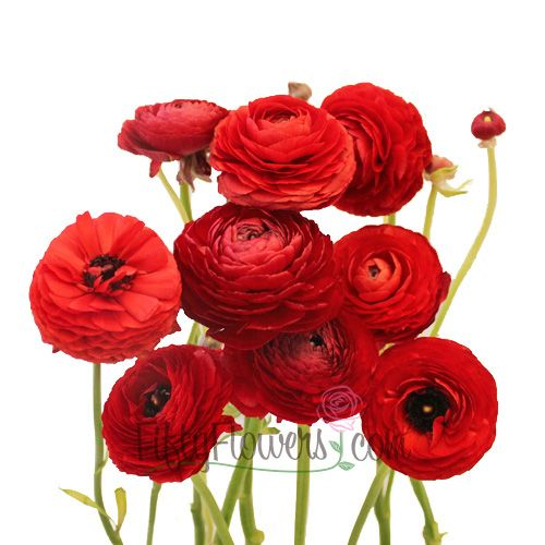 Wedding Flowers Bright Red Flowers Scabiosa Flowers Ranunculus Bouquet Pink Ranunculus Flowers