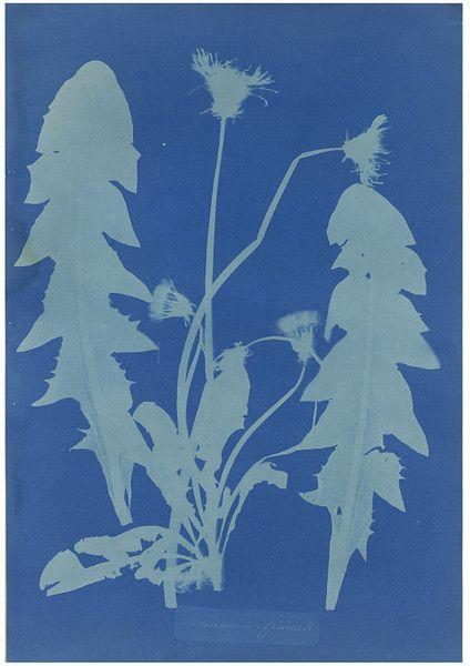 anna atkins - dandelion