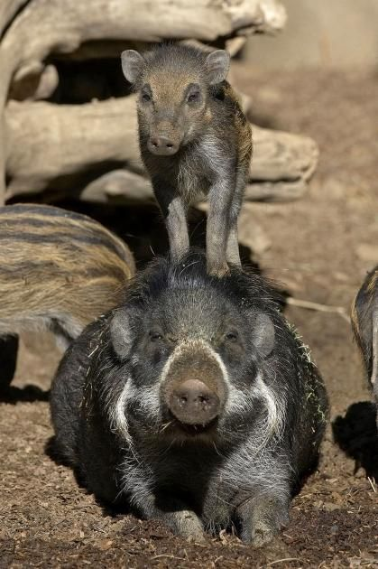 A six-week-old Visayan warty pig plays king of the mountain atop of an adult pig