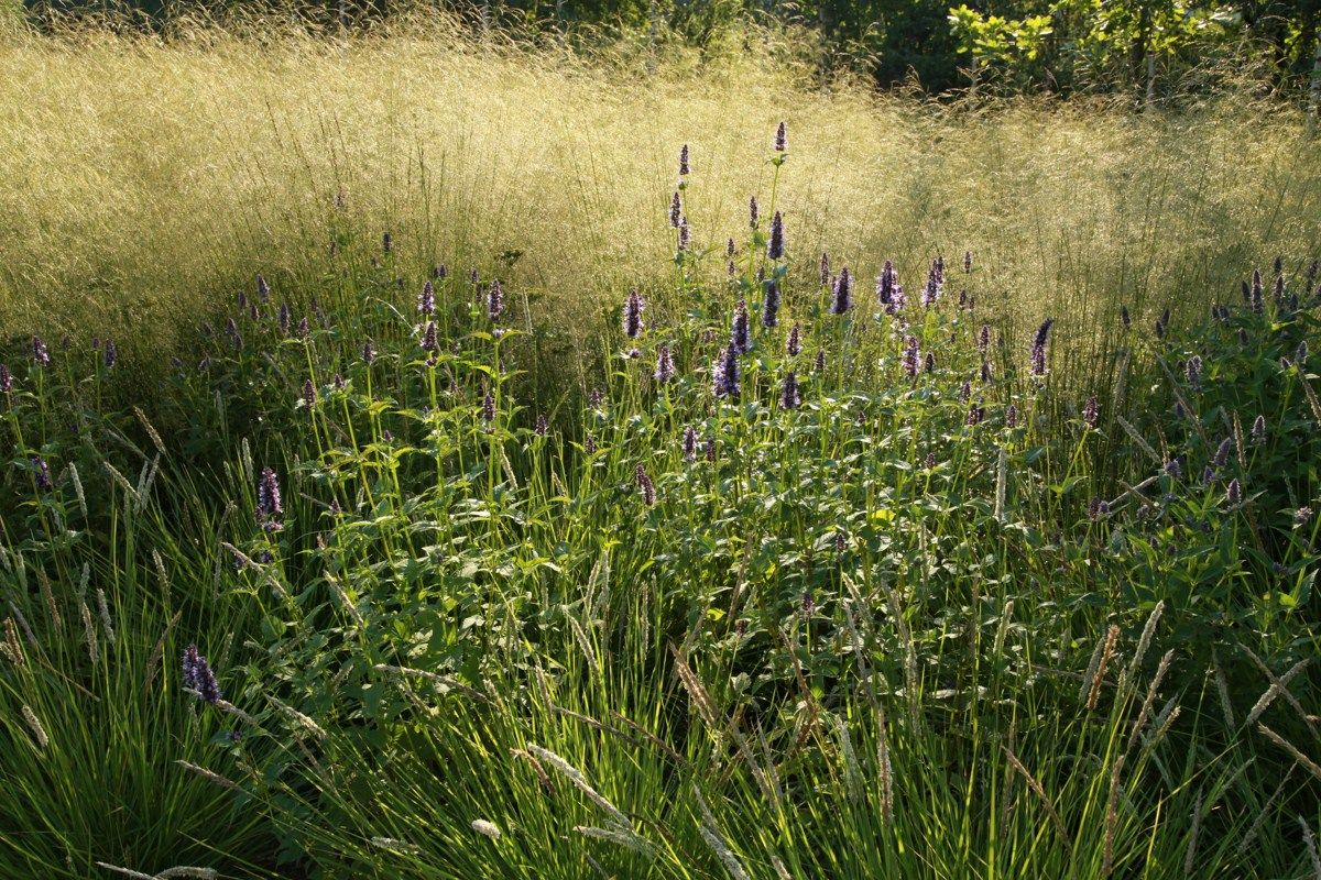 Meadow style with ornamental grass and agastache from for Planting schemes with grasses