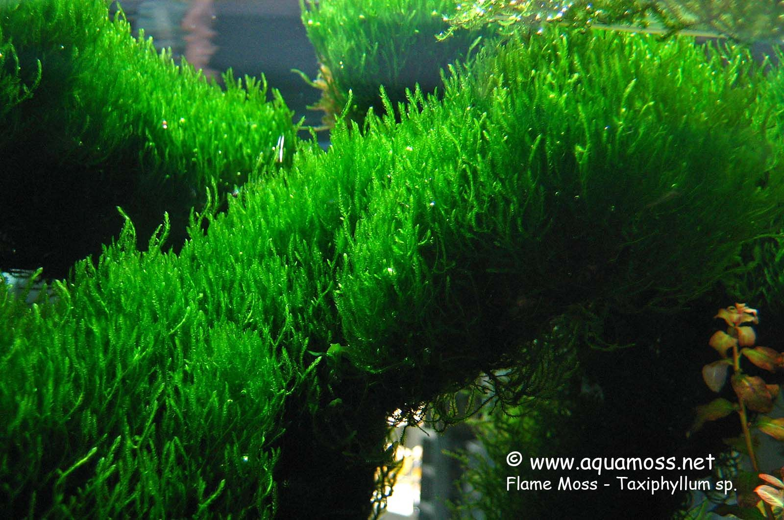 Moss Phoenix: features of plants for aquaspace 8