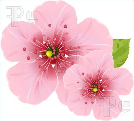Cherry Blossom Flower Cherry Blossom Flowers Cherry Blossom Art Blossom Trees