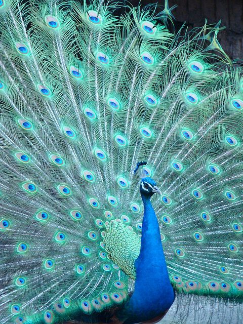 Peacock | Birds of a Feather Flock Together | Peacock