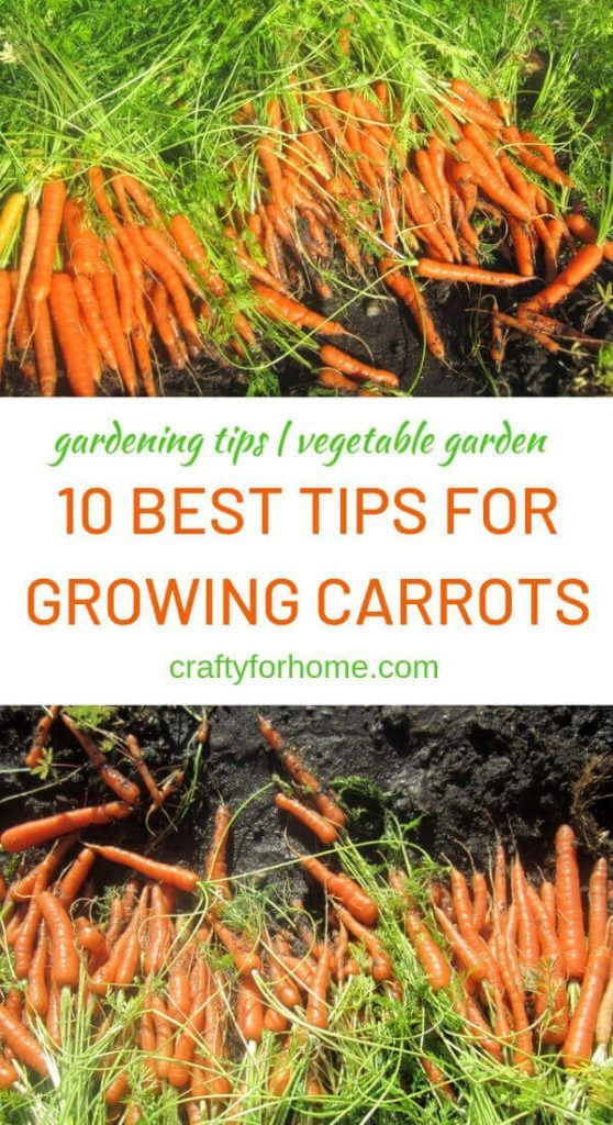 , 10 Best Tips For Growing Carrots #gardening #backyard garden #garden design #garden ideas #garden inspiration, My Travels Blog 2020, My Travels Blog 2020